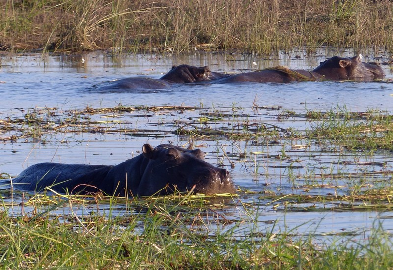 Hippos by the Chobe River