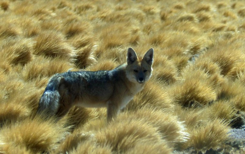 Desert Fox in the Atacama