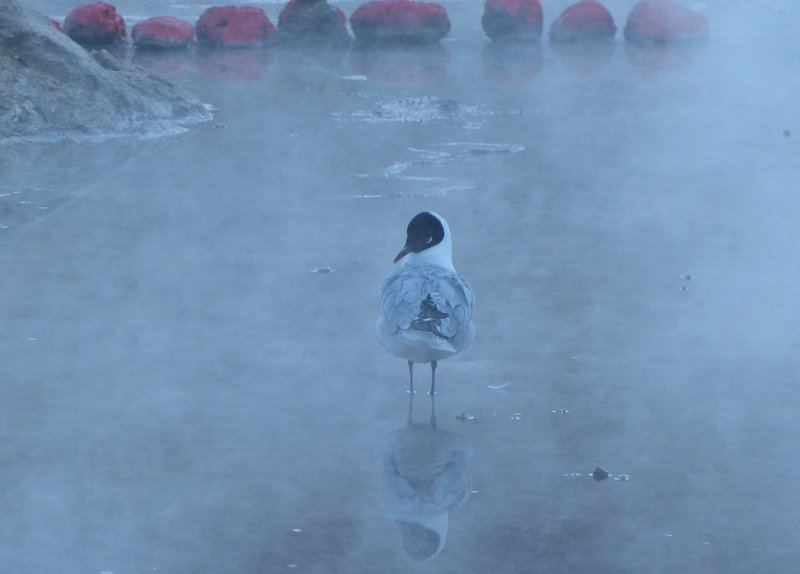 Gull at the El Tatio geyser field, Atacama Desert