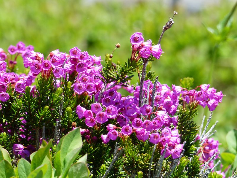 On the Myrtle Falls trail, Mount Rainier NP - pink heather