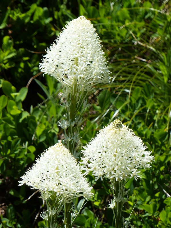 On the Myrtle Falls trail, Mount Rainier NP - beargrass