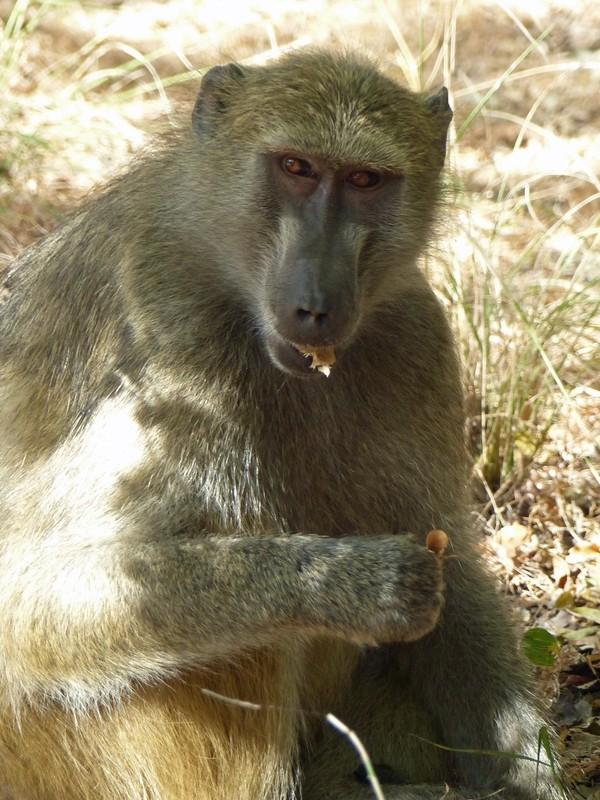 Baboon at Victoria Falls