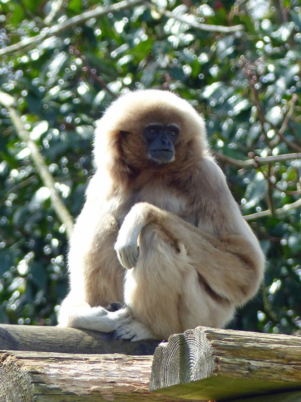 White-handed gibbon, Jersey Zoo