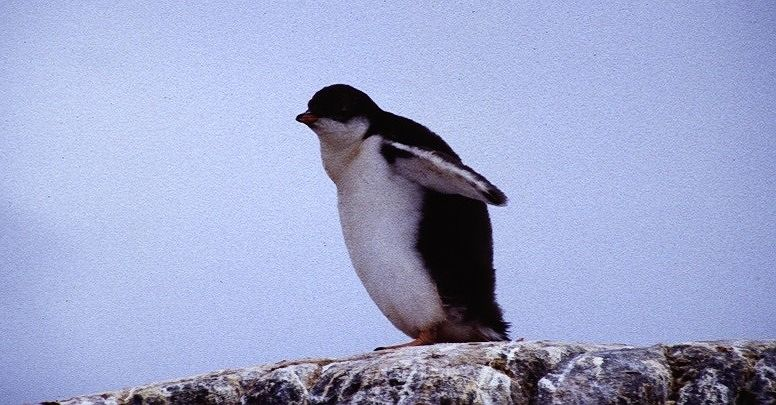 Young chinstrap penguin - Antarctica
