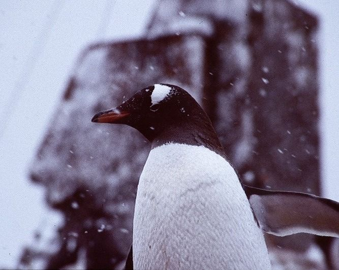 Gentoo in the snow - Antarctica