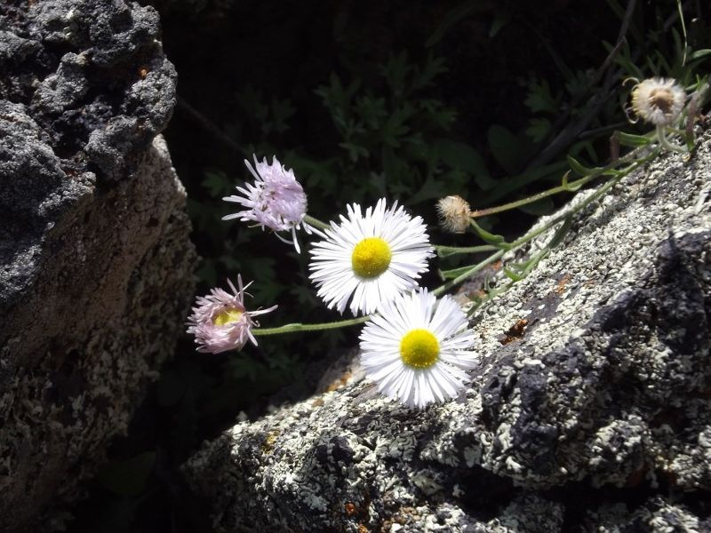 large_5911395-Daisies_and_lava_Grants.jpg