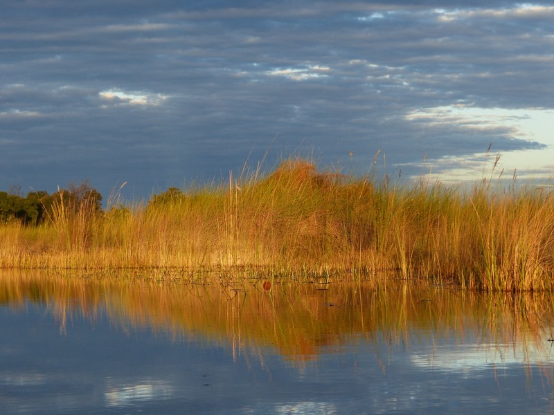 Papyrus, late afternoon glow, Okavango Delta