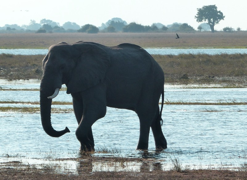 Elephant crossing the river, Chobe National Park