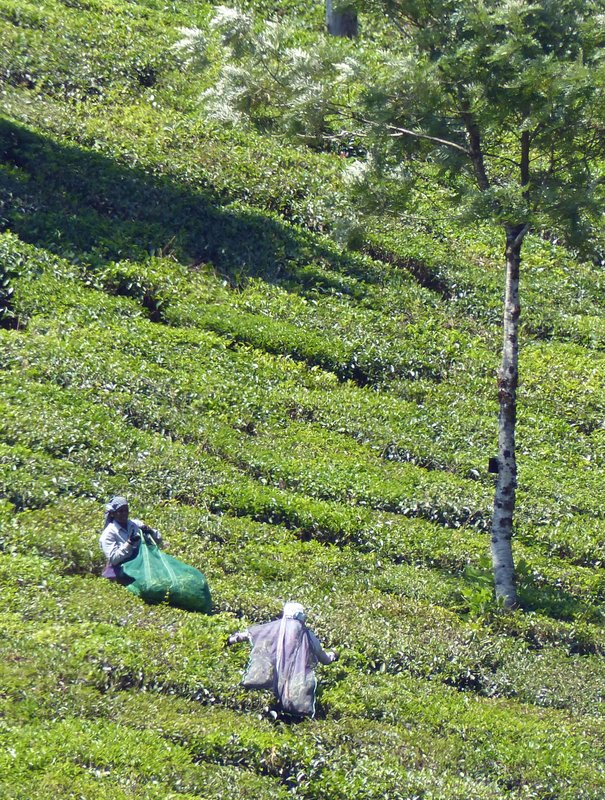 Tea pickers, Munnar