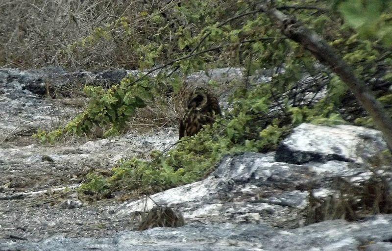 Short-eared Owl - Isla Genovesa