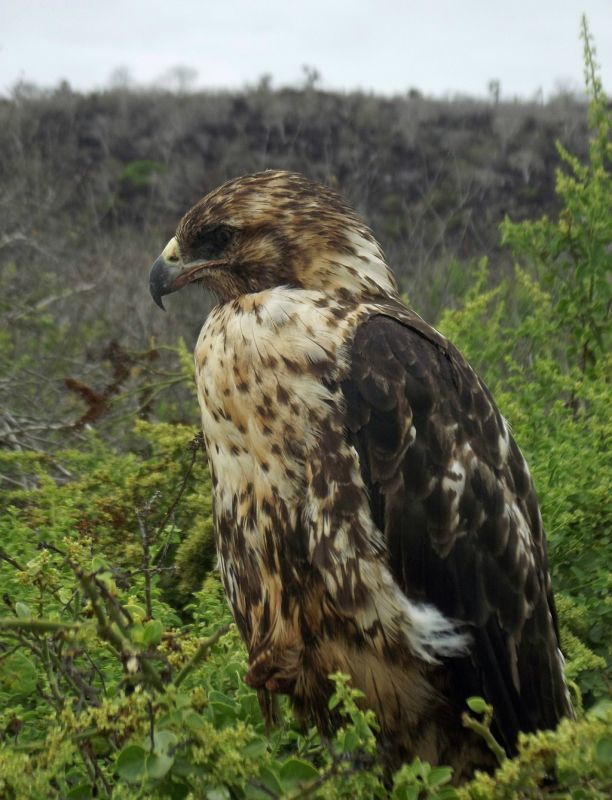 Galapagos Hawk: after the feast - Isla Santa Fe
