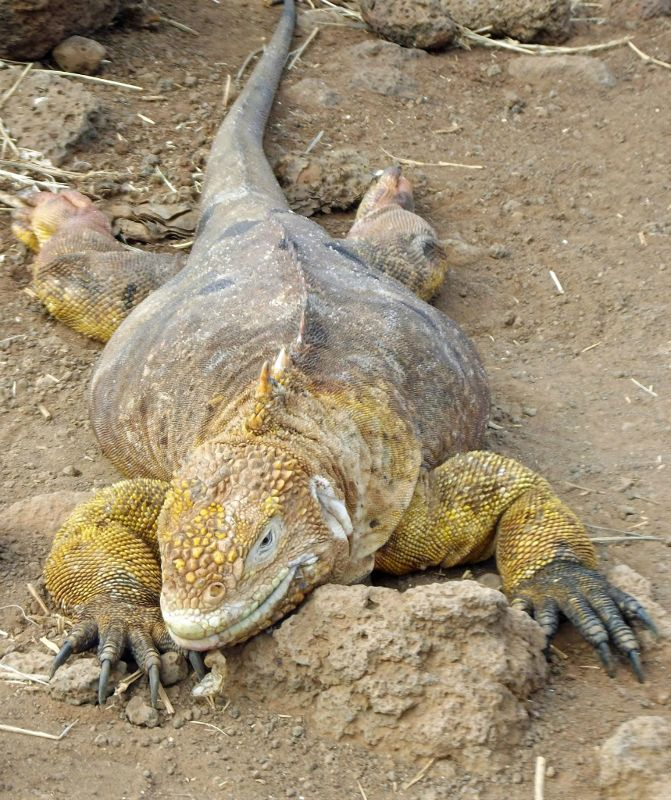 Land iguana - Isla Seymour
