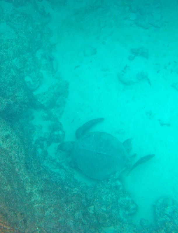 Sea turtle - Isla Española