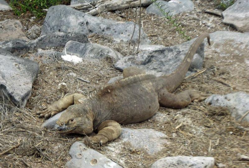 Santa Fe endemic Land Iguana - Isla Santa Fe
