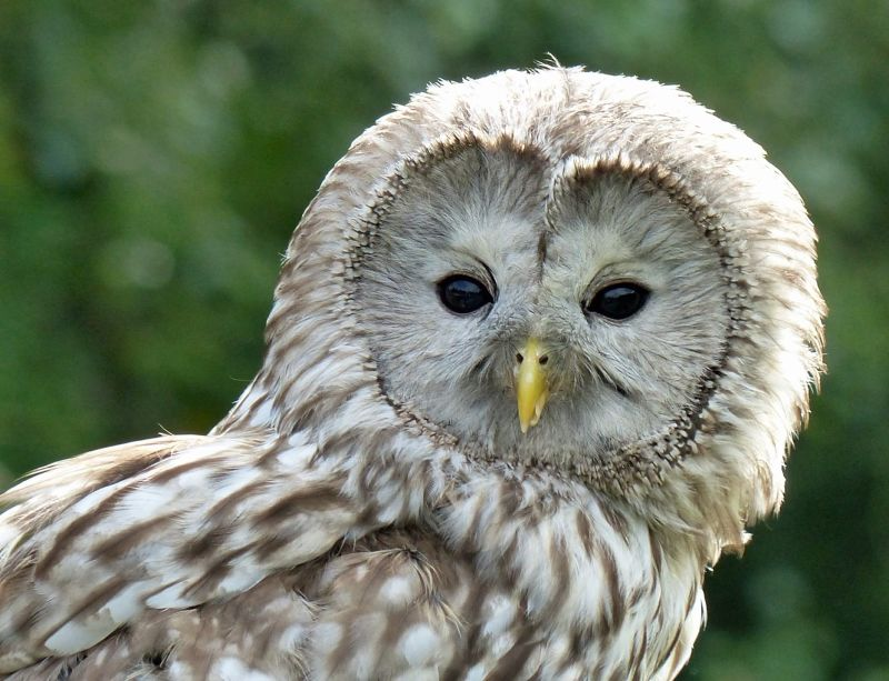 large_6815009-Ural_Owl_Falstone.jpg