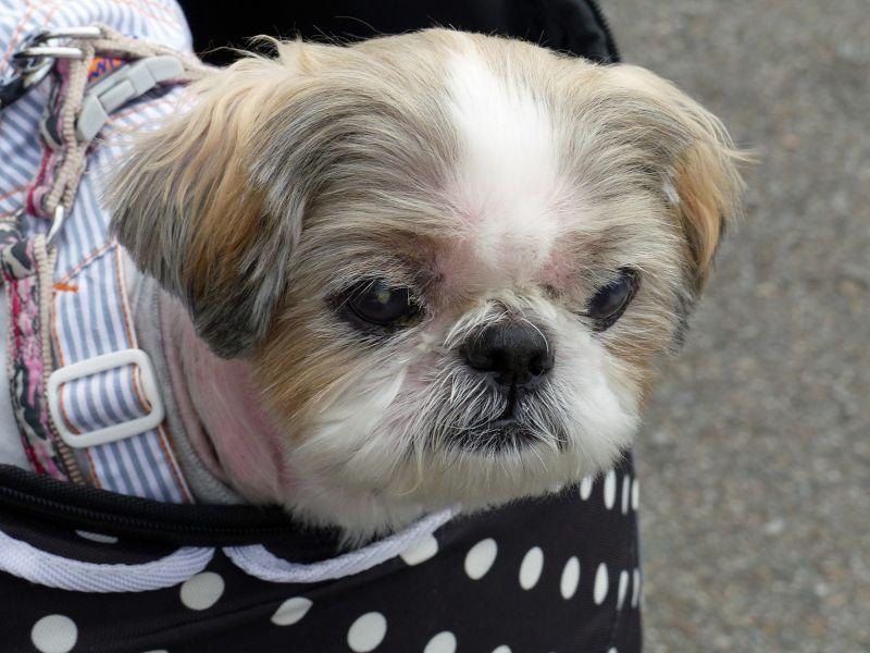 large_6927639-Japans_best_dressed_dogs_Takayama.jpg