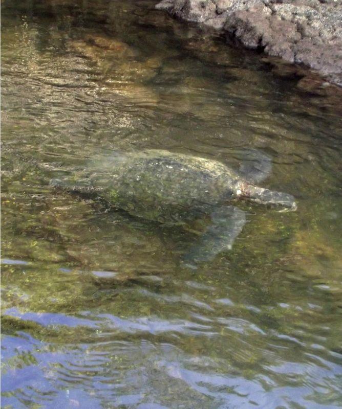 Sea turtle, Black Turtle Cove -  Santa Cruz
