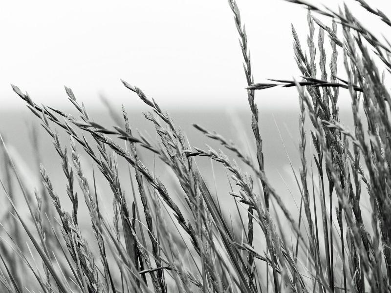 large_7156929-Marram_grass_dunes_Alnmouth.jpg