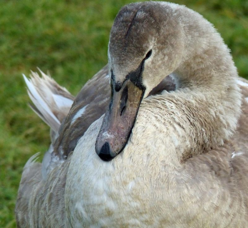 large_7287047-Cygnet_Druridge_Bay.jpg