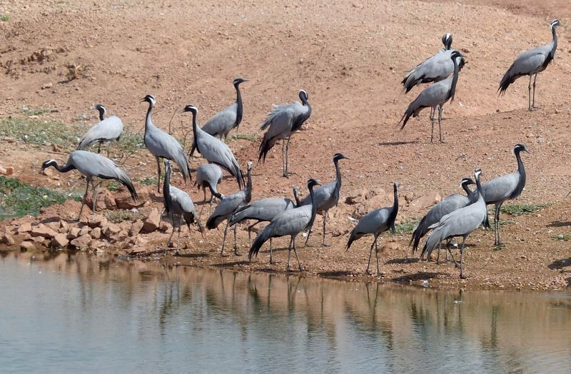 large_7535592-Demoiselle_cranes_Khichan.jpg