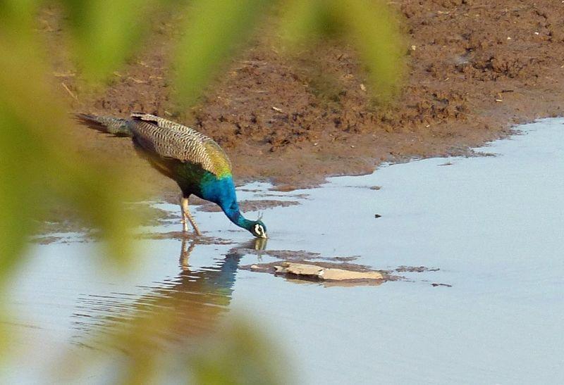 Peacock - Ranthambore National Park