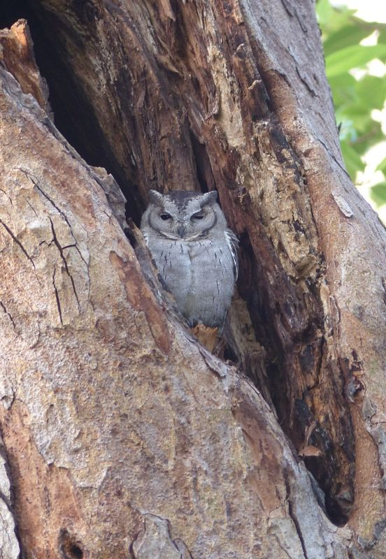 Scops owl - Ranthambore National Park
