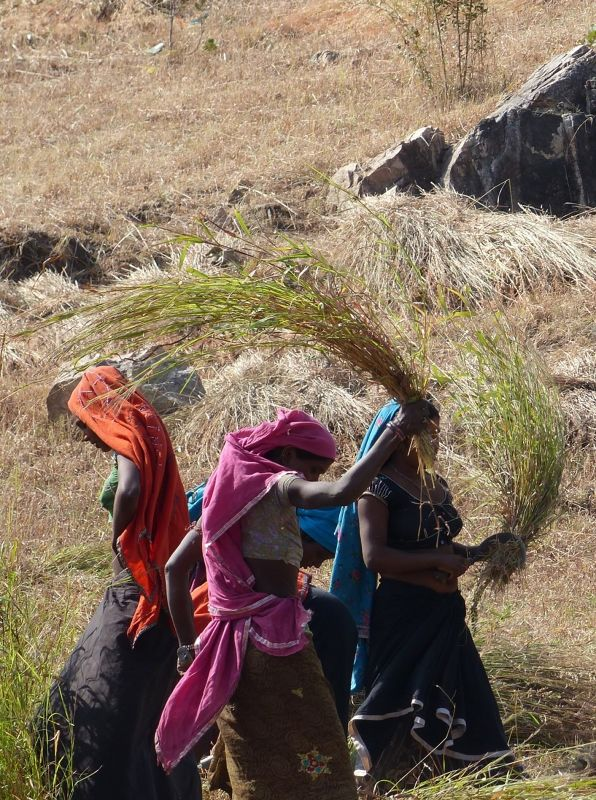 Threshing - on the road to Udaipur