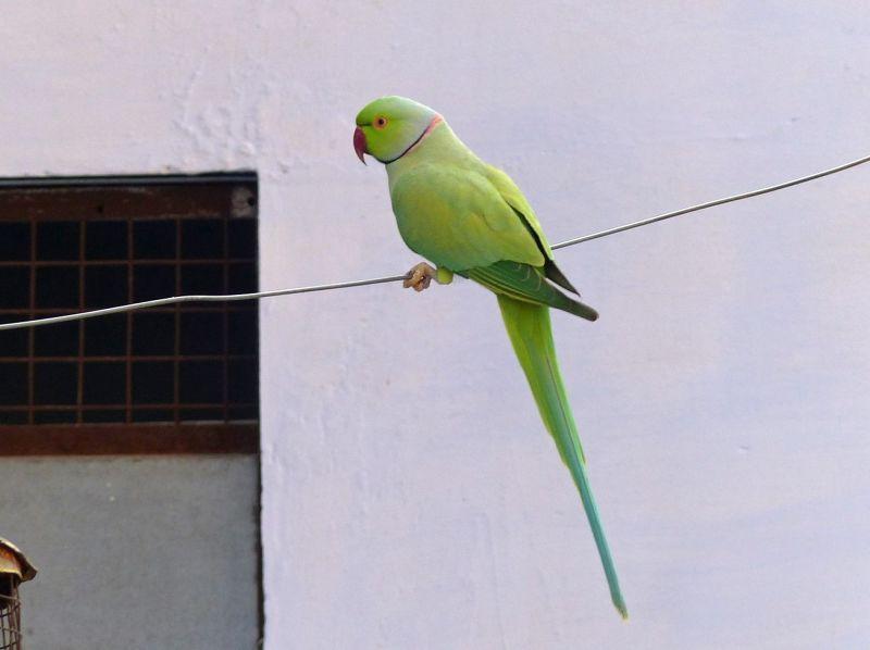 Parakeet in town - Bundi