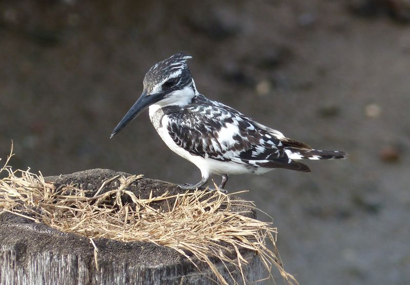 large_7574950-Pied_Kingfisher_The_Gambia.jpg