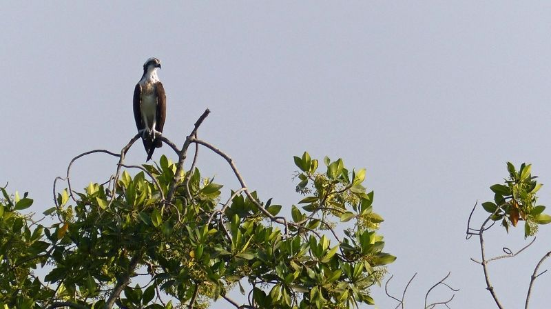 large_7575351-Osprey_on_mangrove_tree_Same.jpg