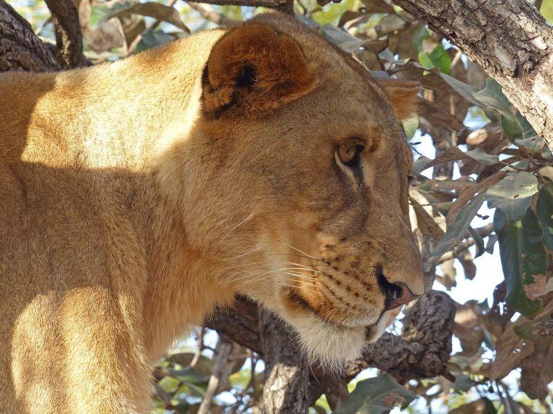 large_7575402-Lioness_Same.jpg