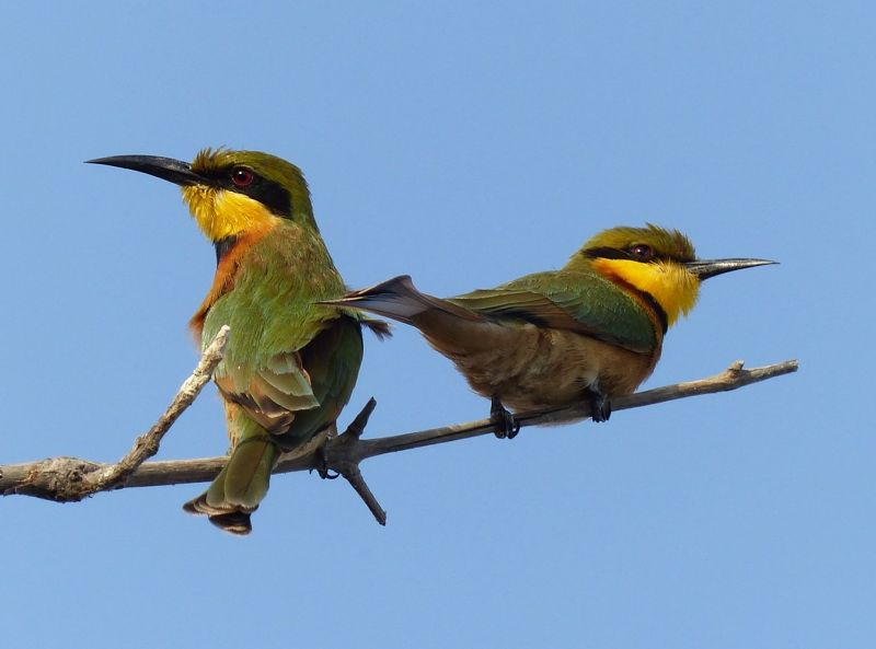 large_7580245-Little_Bee_Eaters_Fimela.jpg