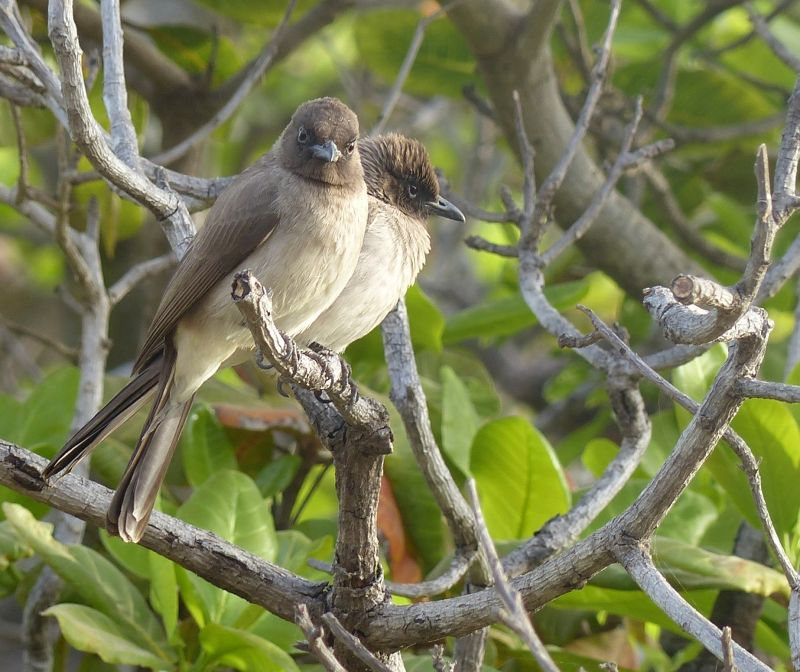 large_7580247-Common_Bulbuls_Fimela.jpg