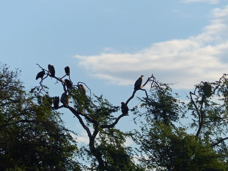 Vultures roosting by the Zambezi