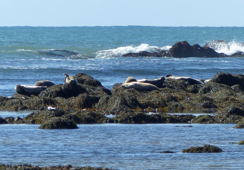 Seals at Ytri Tunga