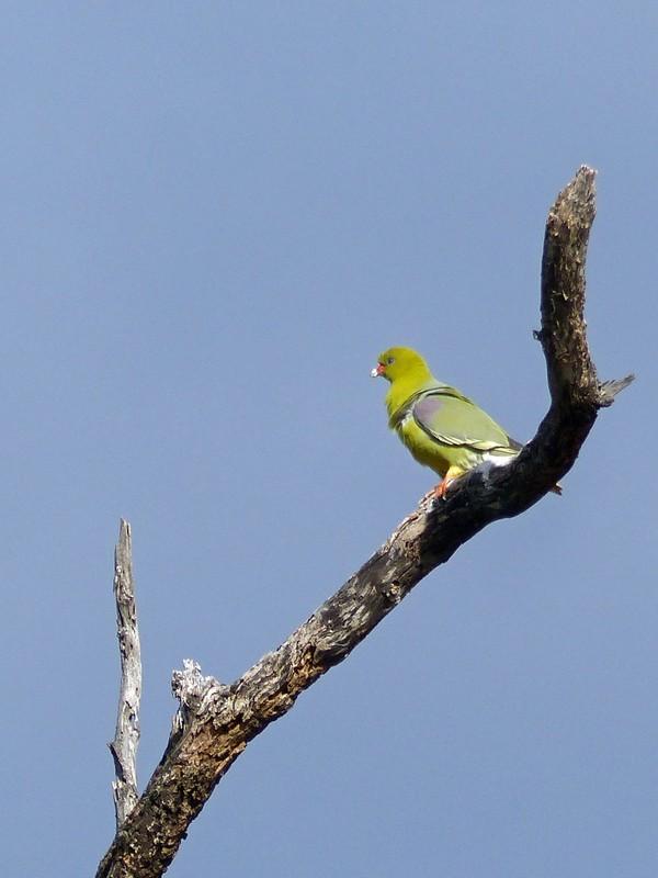 Green Pigeon, Sausage Island, Okavango Delta