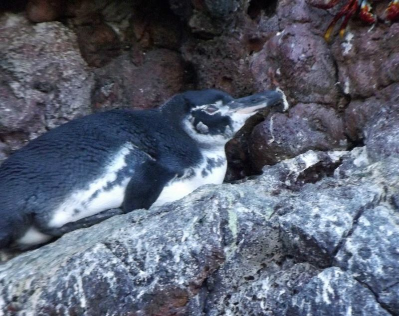 Galápagos penguin, Santiago - Galápagos Islands