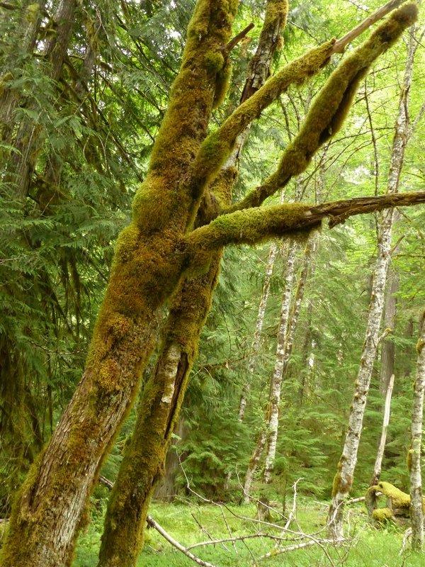 On the Ohanapecosh Hot Springs trail, Mount Rainier NP