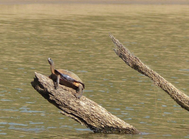 Turtle, Periyar Lake