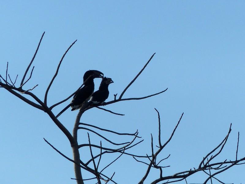 Hornbills near the Jungle Junction, Victoria Falls Hotel