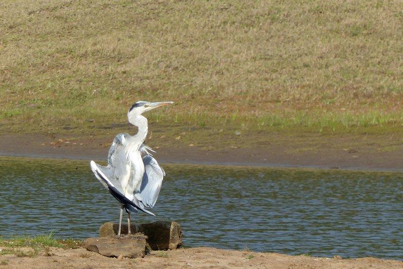 Grey heron, Periyar National Park