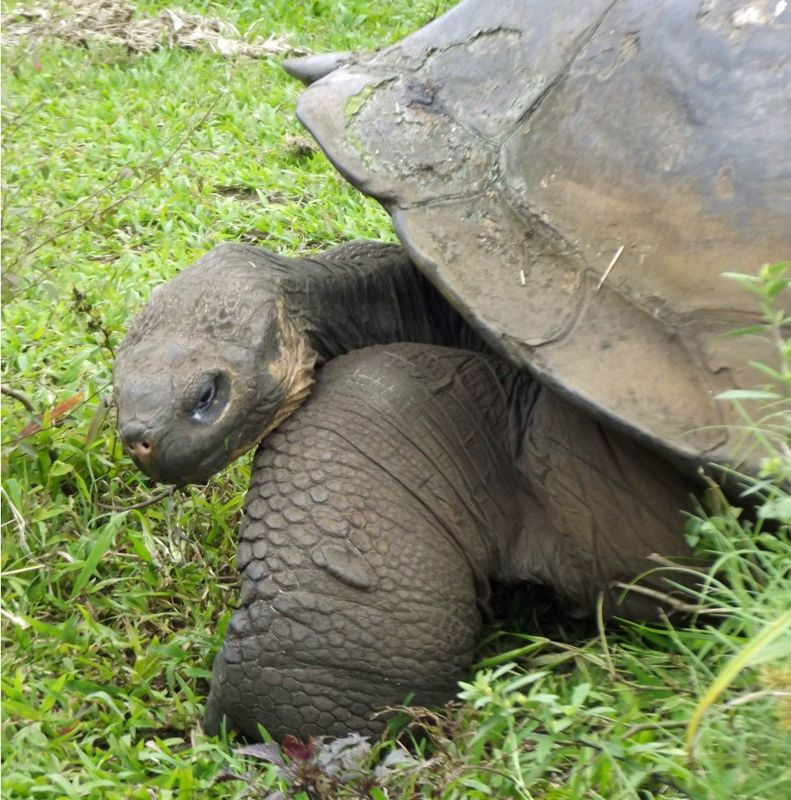 large_94457316462320-Tortoises_in..Santa_Cruz.jpg