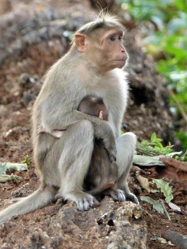 Langur monkey with baby