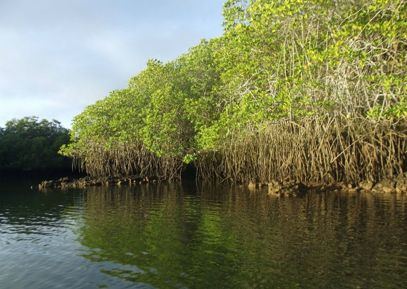 large_984456246445016-Mangroves_in..os_Islands.jpg