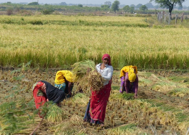 Working in the fields near Sawai Madhopur