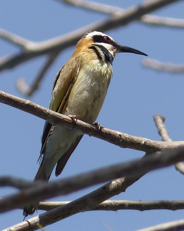 White-throated Bee-eater, Mandina