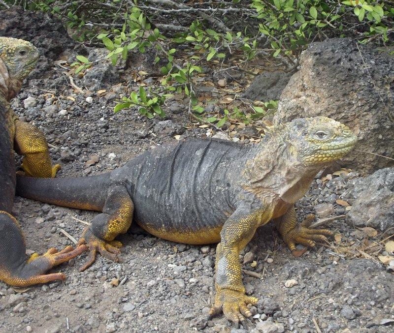 Land iguanas, South Plaza
