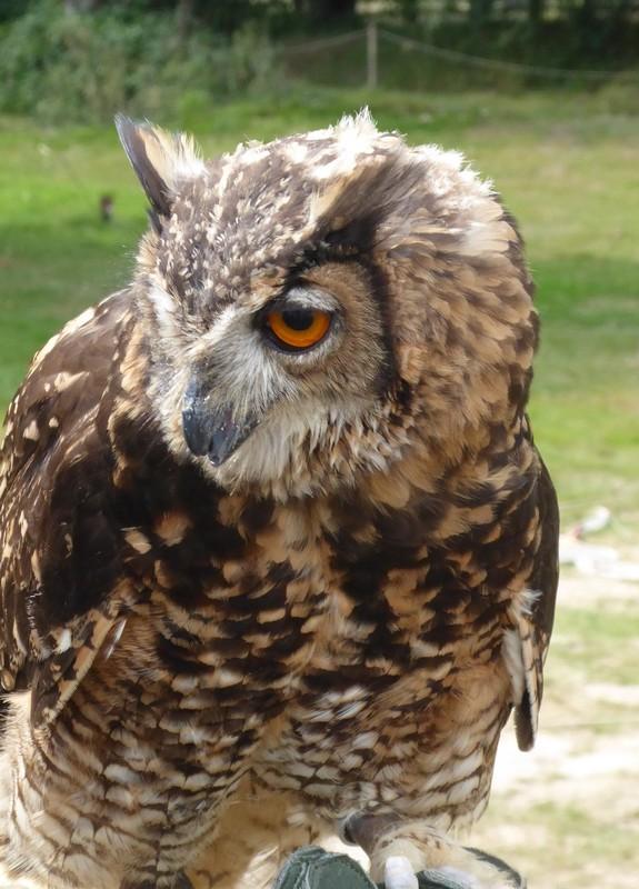 Eagle owl at Bodiam Castle