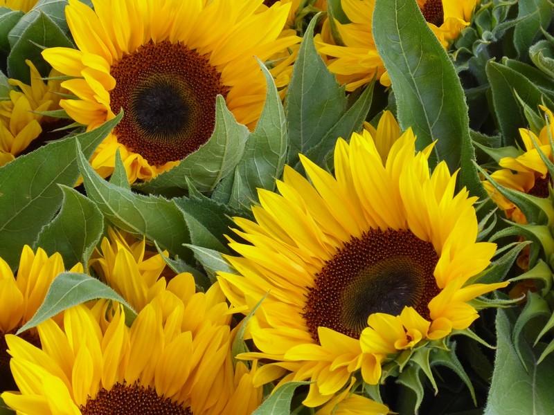 Sunflowers for sale, Leipzig
