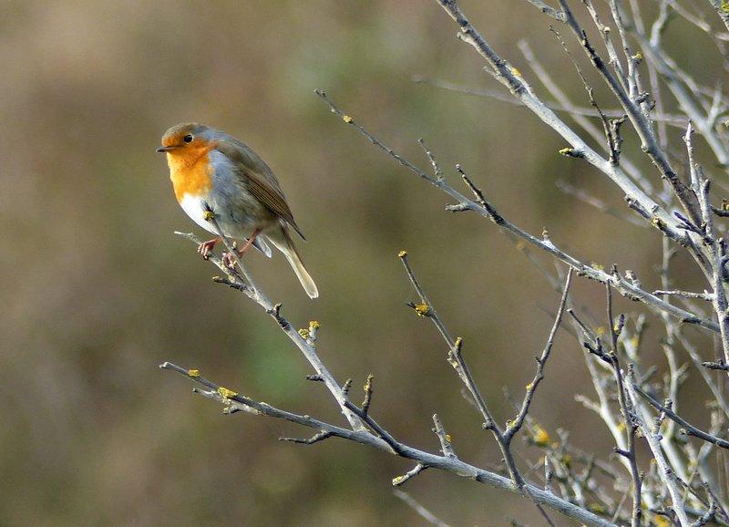 Robin, Tynemouth